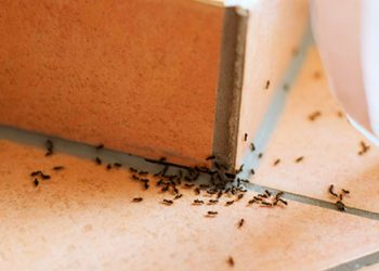 ants at home