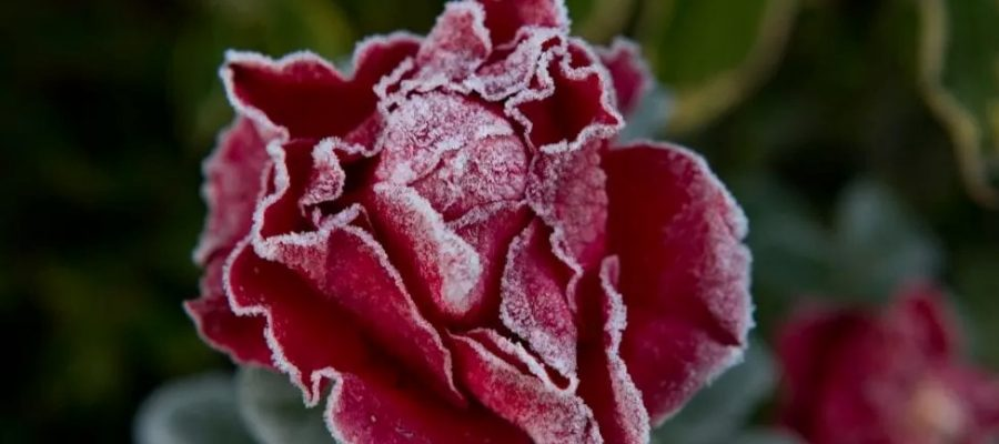 Protecting roses from the winter frost